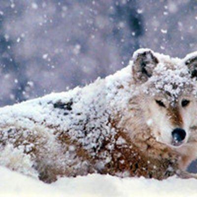 最霸气狼的头像图片_WWW.QQYA.COM