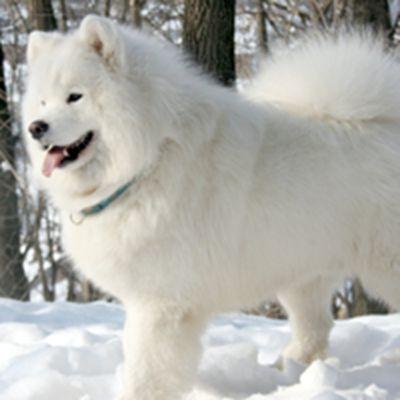 萨摩耶犬头像_WWW.QQYA.COM