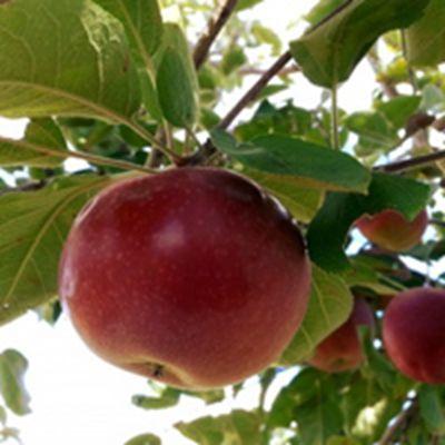苹果头像图片_WWW.QQYA.COM
