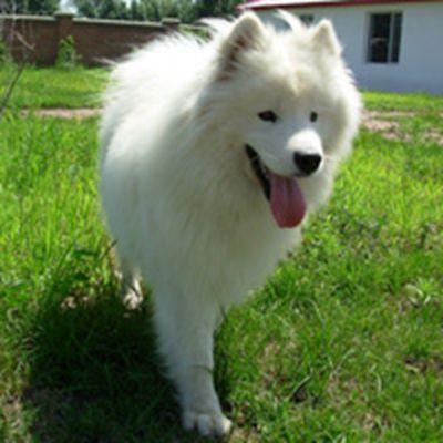 可爱的萨摩耶犬高清微信头像图片_WWW.QQYA.COM