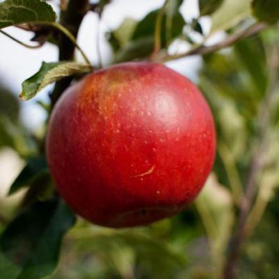 红苹果微信头像_WWW.QQYA.COM