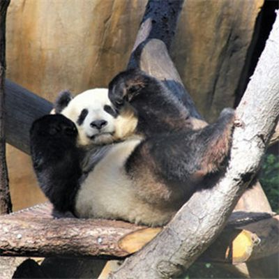国宝大熊猫头像图片_WWW.QQYA.COM