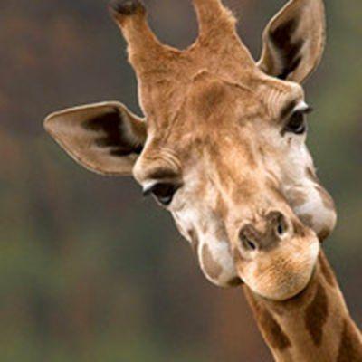 个性长颈鹿头像_WWW.QQYA.COM