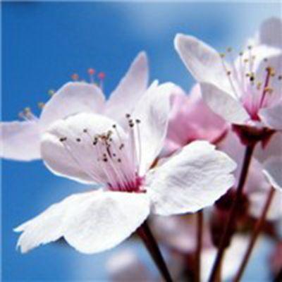 梦幻美丽樱花风景头像_WWW.QQYA.COM