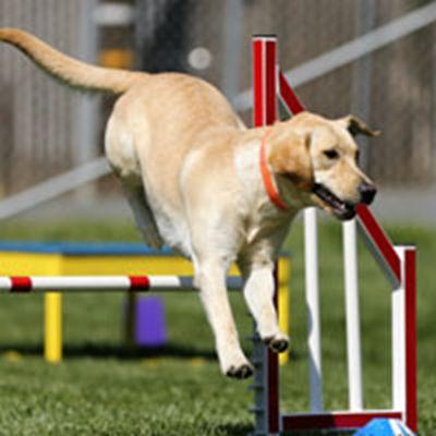 拉布拉多犬很萌的头像_WWW.QQYA.COM