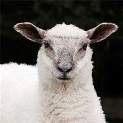 绵羊头像可爱_WWW.QQYA.COM