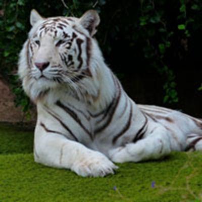 关于老虎的头像_WWW.QQYA.COM