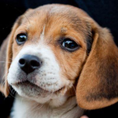 可爱小宠物比格犬头像图片_WWW.QQYA.COM