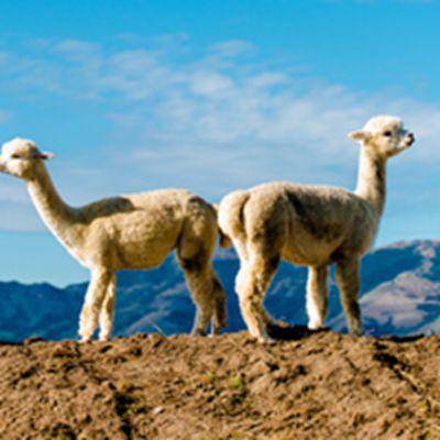 澳大利亚可爱的羊驼头像_WWW.QQYA.COM