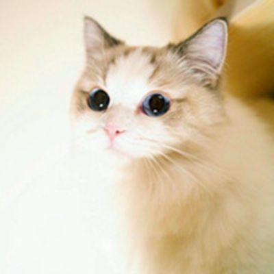呆萌美颜布偶猫头像_WWW.QQYA.COM