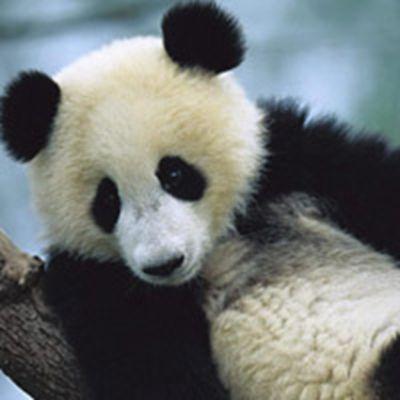熊猫头像_WWW.QQYA.COM