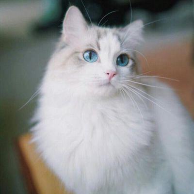 布偶猫头像高清 呆萌美颜布偶猫图片_WWW.QQYA.COM
