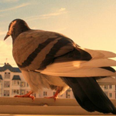 各种类型的鸽子可爱个性头像图片_WWW.QQYA.COM