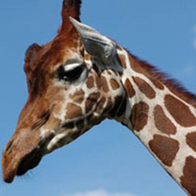 可爱长颈鹿头像_WWW.QQYA.COM