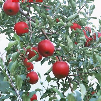 苹果树图片_WWW.QQYA.COM