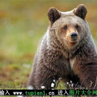 眼睛小小的棕熊图片_WWW.QQYA.COM