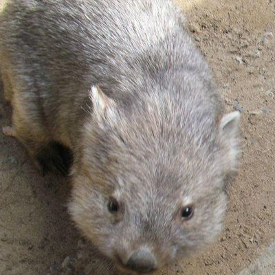 棕灰色的可爱袋熊图片_WWW.QQYA.COM