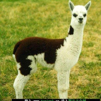 羊驼的样子_WWW.QQYA.COM