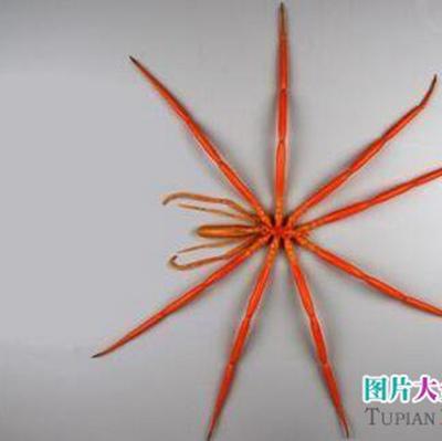 南极巨大蜘蛛图片_WWW.QQYA.COM
