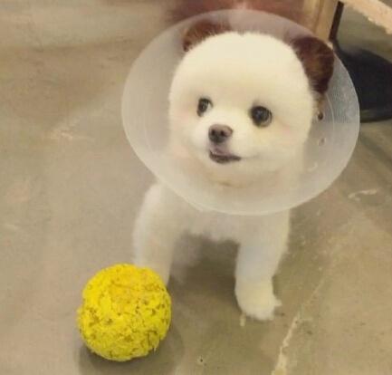 呆萌宠物狗博美犬图片大全_WWW.QQYA.COM