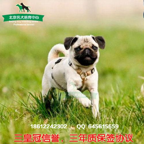 八哥狗狗可爱图片卡通_WWW.QQYA.COM
